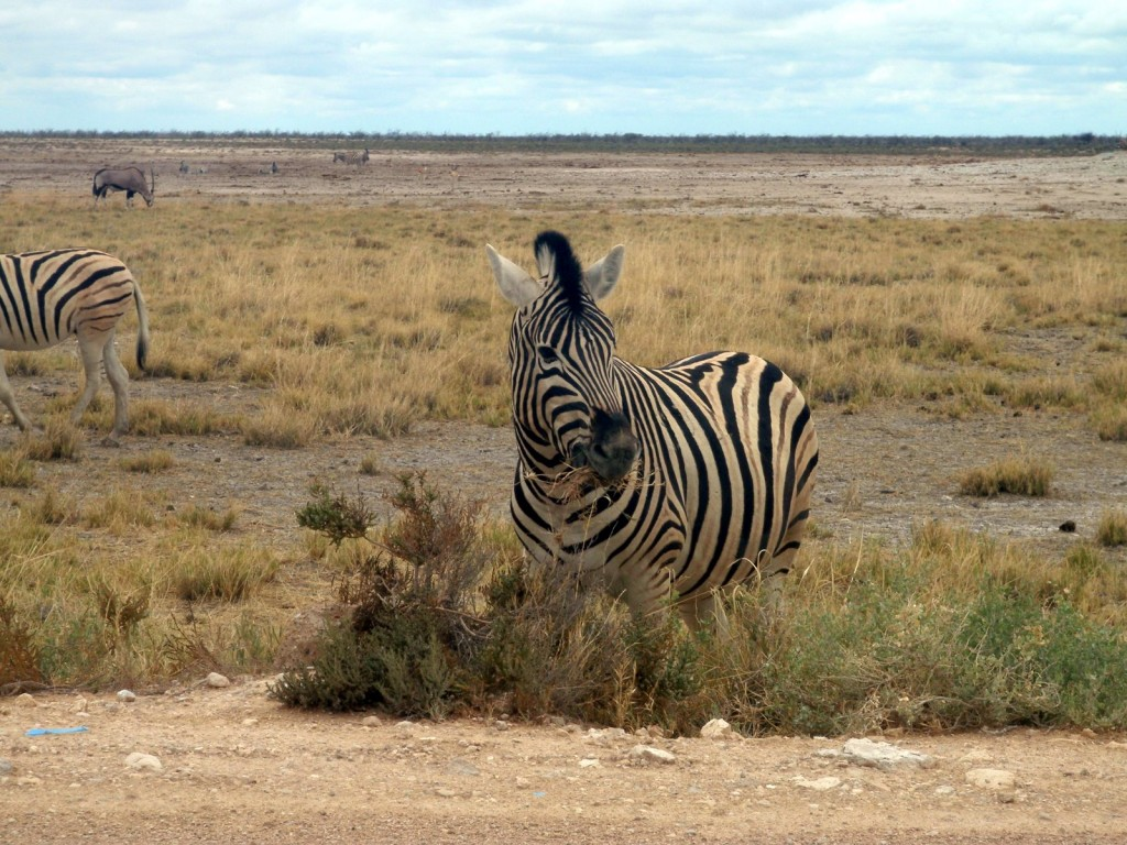 Nomnomnom - Zebra munching on grass in Etosha Game Reserve, Namibia, Africa